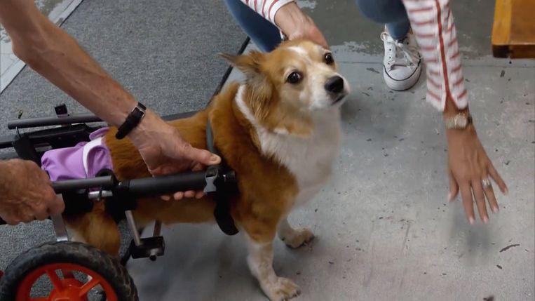 Deze hond krijgt een rolstoel, waardoor hij weer kan lopen.