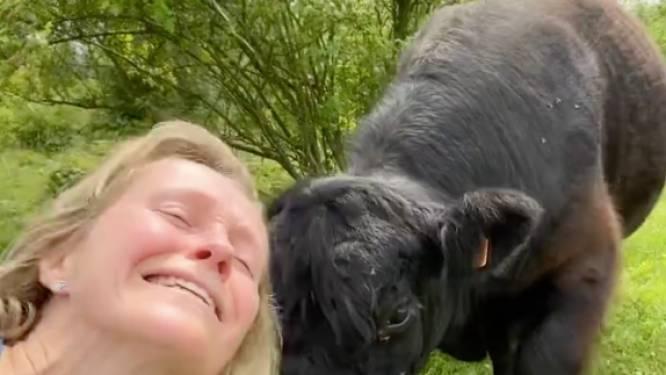 Antwerps schepen wil selfie met rund nemen … en krijgt er prompt een kopstoot van