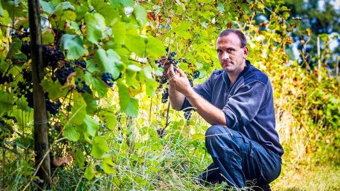 Natte zomer zorgt voor schimmelende druivenplanten: 'Hier is niet tegenaan te spuiten'