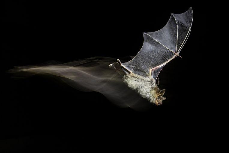 Een vale vleermuis in Sucs, Lleida, Spanje. Beeld Antonio Leiva Sanchez