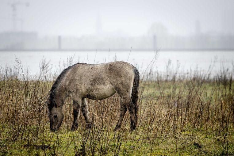 Een konikpaard heeft een droge plek opgezocht in de Stadswaard bij Nijmegen. Vanwege het hoge water in de Waal lopen de uiterwaarden vol. Beeld ANP