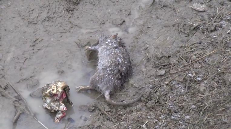 Tientallen ratten liggen dood op straat en langs de kant van de weg omdat ze elkaar aanvallen en door auto's overreden worden.
