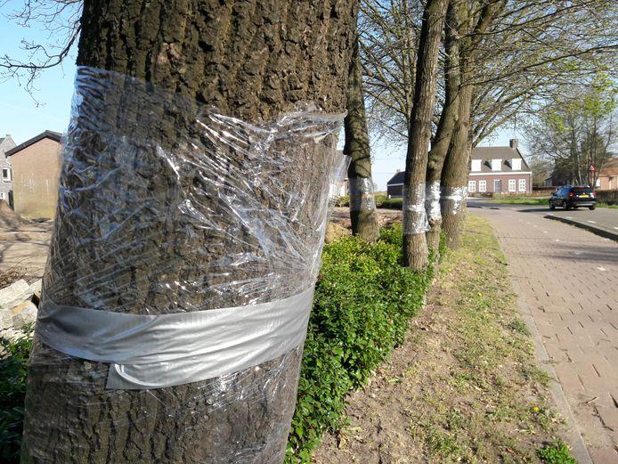 Plastic folie moet langs de Heuvelstraat in Moergestel de eikenprocessierups een halt toe gaan roepen