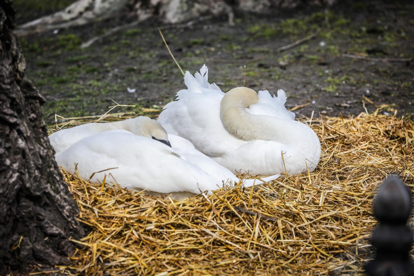 De Brugse zwanen beginnen stilaan hun nest te maken, zoals ook hier aan het Begijnhof.