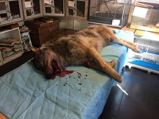 Bij de Stichting Faunavisie Wildcare in het Groningse Westernieland werd de dode wolf begin maart binnengebracht.