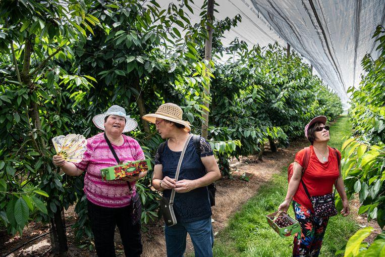 Chinese toeristen plukken kersen in boomgaard d'n Kerkewaerdt. Beeld Koen Verheijden