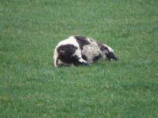 Drie drachtige schapen doodgebeten in Beerzerveld: 'Het werk van een wolf'