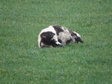 Slagveld bij schapenhouder Beerzerveld was het werk van een wolf