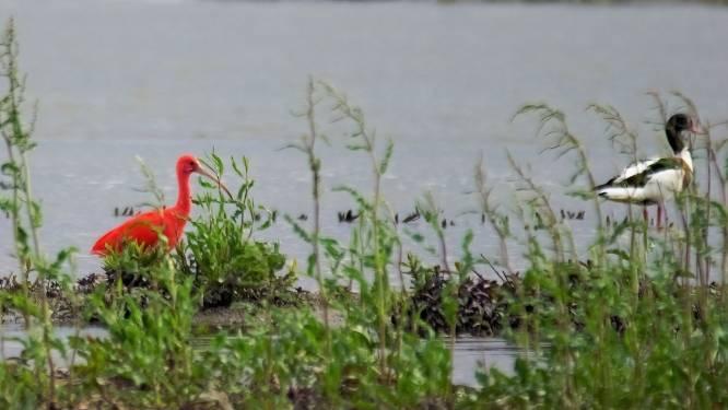 """Rode ibis gespot in het landelijke Alveringem: """"Raadsel hoe die vogel hier is geraakt, want die leeft niet in West-Europa"""""""
