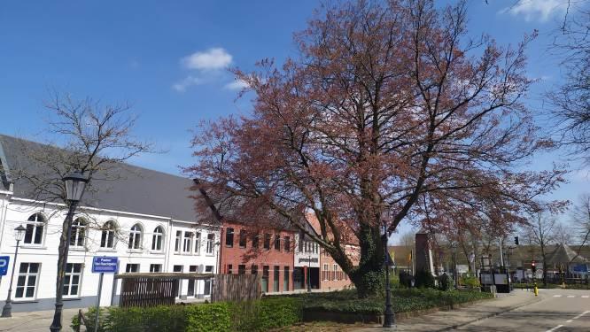 Grote beukenboom aan gemeentehuis moet gerooid worden: reuzenzwam heeft wortels zwaar aangetast