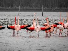 Na droogte 'kampen' flamingo's in Zwillbrock nu ook met de regels