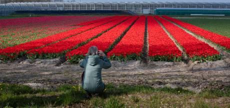 Genieten van de tulpenpracht in Flevoland? Dat kan, maar wel vanuit de auto