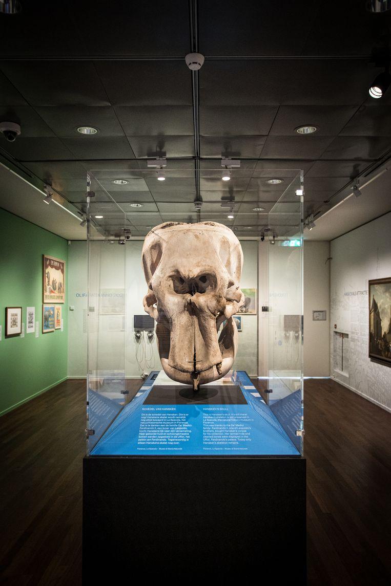 De schedel van Hansken. Beeld Natascha Libbert