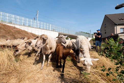 Foto van Spoorwegbeheerder schakelt schapen en geiten in