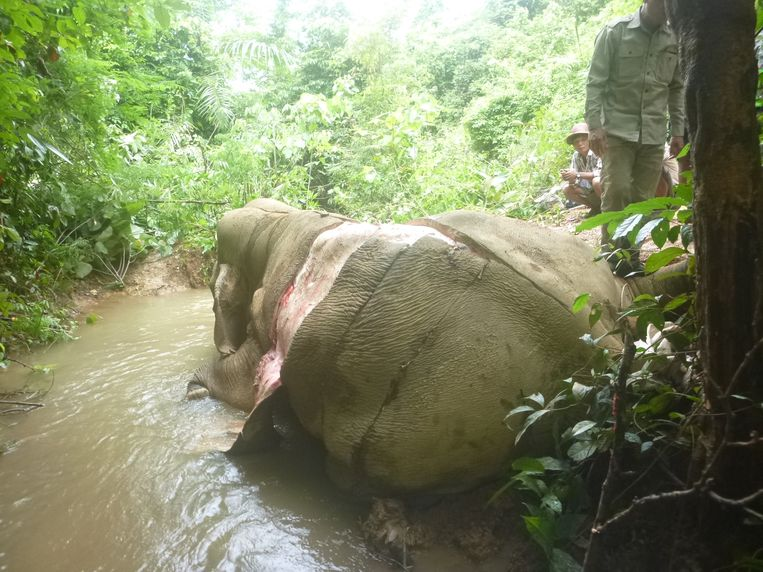 De olifanten worden meestal geveld met giftige pijlen. Wanhopig gaan ze dan op zoek naar water. De meeste karkassen worden bijgevolg aan rivieren aangetroffen. Beeld Elephant Family