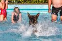 Eindelijk mogen honden net als hun baasjes duiken in het zwembad Looëermark in Loo Bathmen. Hiermee sluiten ze het zwemseizoen traditioneel af. Hond Prada van Anton Oude Ampsen.