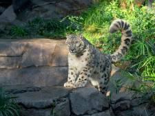 Un léopard des neiges testé positif au Covid dans un zoo américain