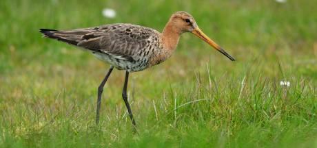 Hoe de bedreigde grutto, onze nationale vogel, hier wél opleeft: 'Uniek voorbeeld in Nederland'