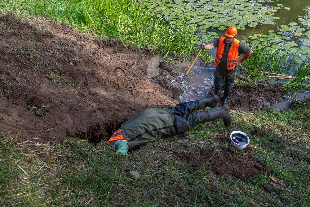 In de Waaldijk nabij Dodewaard worden enkele gangen van een bever uitgegraven.