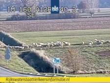 Loslopende schapen hinderen verkeer op A12, verkeer moet tijdelijk over één rijstrook
