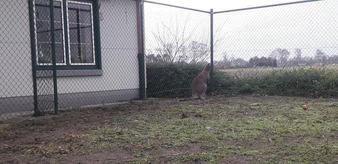 De overige kangoeroe's in de weide werden gevangen en zullen elders hun onderkomen krijgen