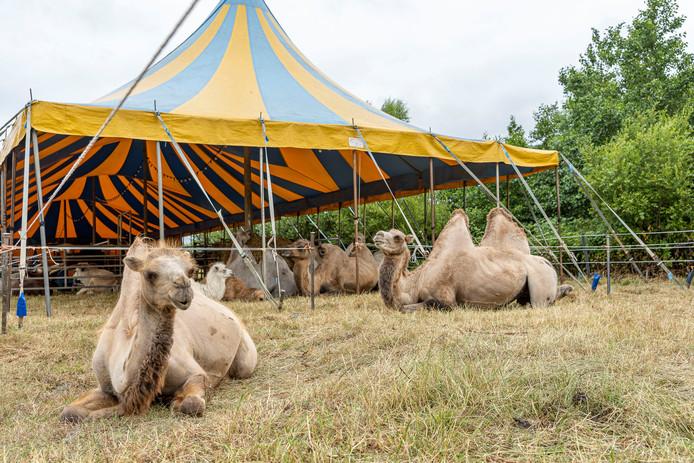 Op de Roelandsweg in Renesse 'wonen' deze week de kamelen van circus Renz International.
