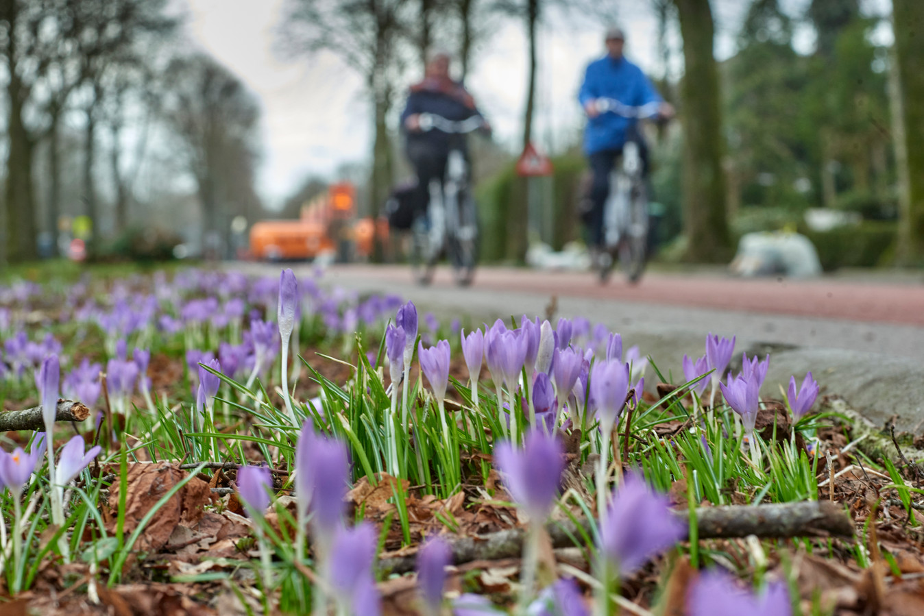Krocussen in bloei aan de Nieuwe Hescheweg te Oss.