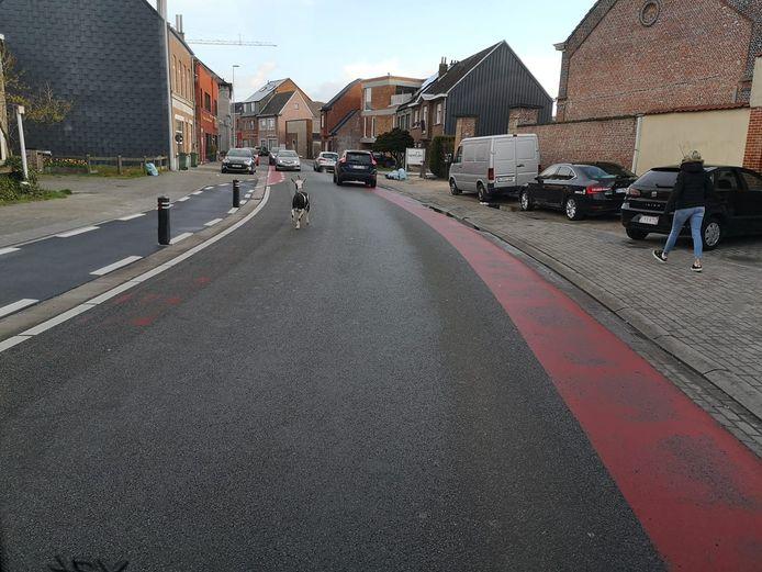 De ontsnapte geit op wandel op Kapellendries in Wetteren.