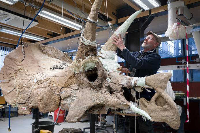Aart Walen is bij het Oertijdmuseum in Boxtel een Triceratops in elkaar aan het zetten met deels echte botten en deels 3d-print. Het gevaarte is bestemd voor het Science Centre Delft.