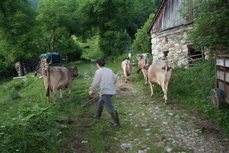 Vandaag is D-day in Zatolmin: de dag dat de koeien naar de weiden hoog in de bergen  worden gebracht Beeld Els Zweerink