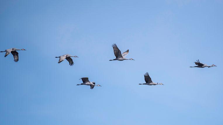 Twee keer per jaar trekken de kraanvogels in grote groepen over het oosten van ons land naar hun zomer- of winterverblijf Beeld Free