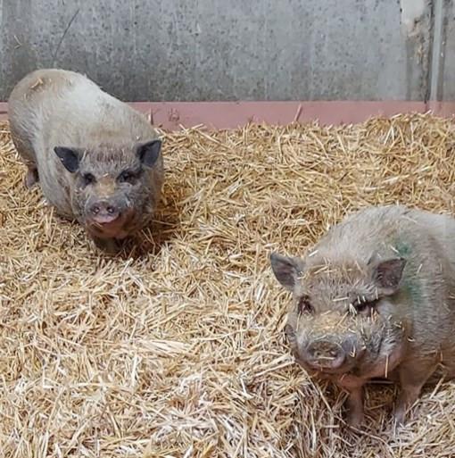 Deze twee hangbuikzwijnen laat de faculteit liefst samen adopteren.