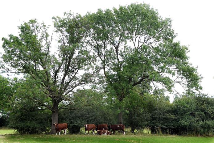 Koeien tijdens een wandeling over het de Pontipad in Vortum Mullem.
