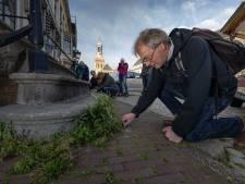 Botanisch stoepkrijten is nieuw in Kampen: onder de Nieuwe Toren groeit de Muursla