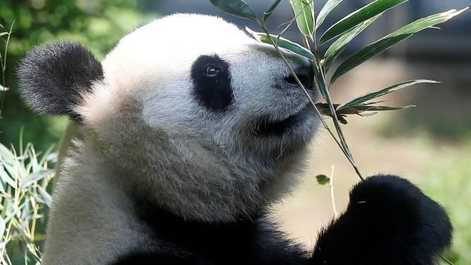 Dubbel geluk: reuzenpanda bevalt van tweeling in zoo  Tokio
