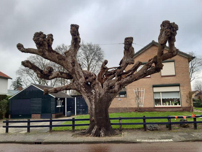 Deze eeuwenoude knotlinde aan de Regelinkstraat in Hengelo zou gekapt moeten worden, vindt de gemeente.