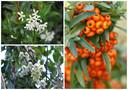Trachelospermum jasminoides, Winter Beauty en vuurdoorn