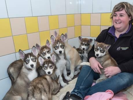 Verwaarloosde en gedumpte pups komen weer bij in Udense dierenopvang:'Dikke buiken van de wormen en hongerig'