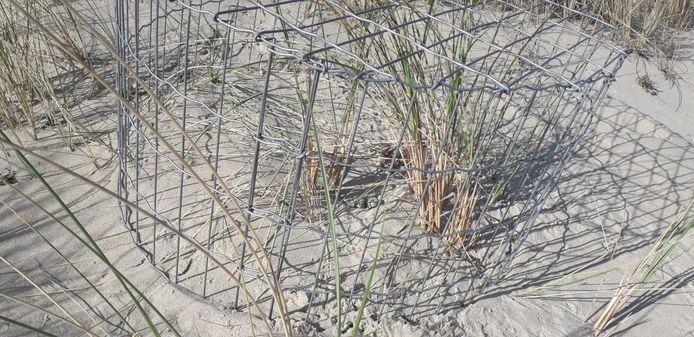 Een  beschermd nest van de bontbekplevier met twee eitjes.