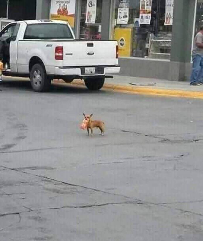 De chihuahua keerde terug met een zaak Cheetos in haar bek.