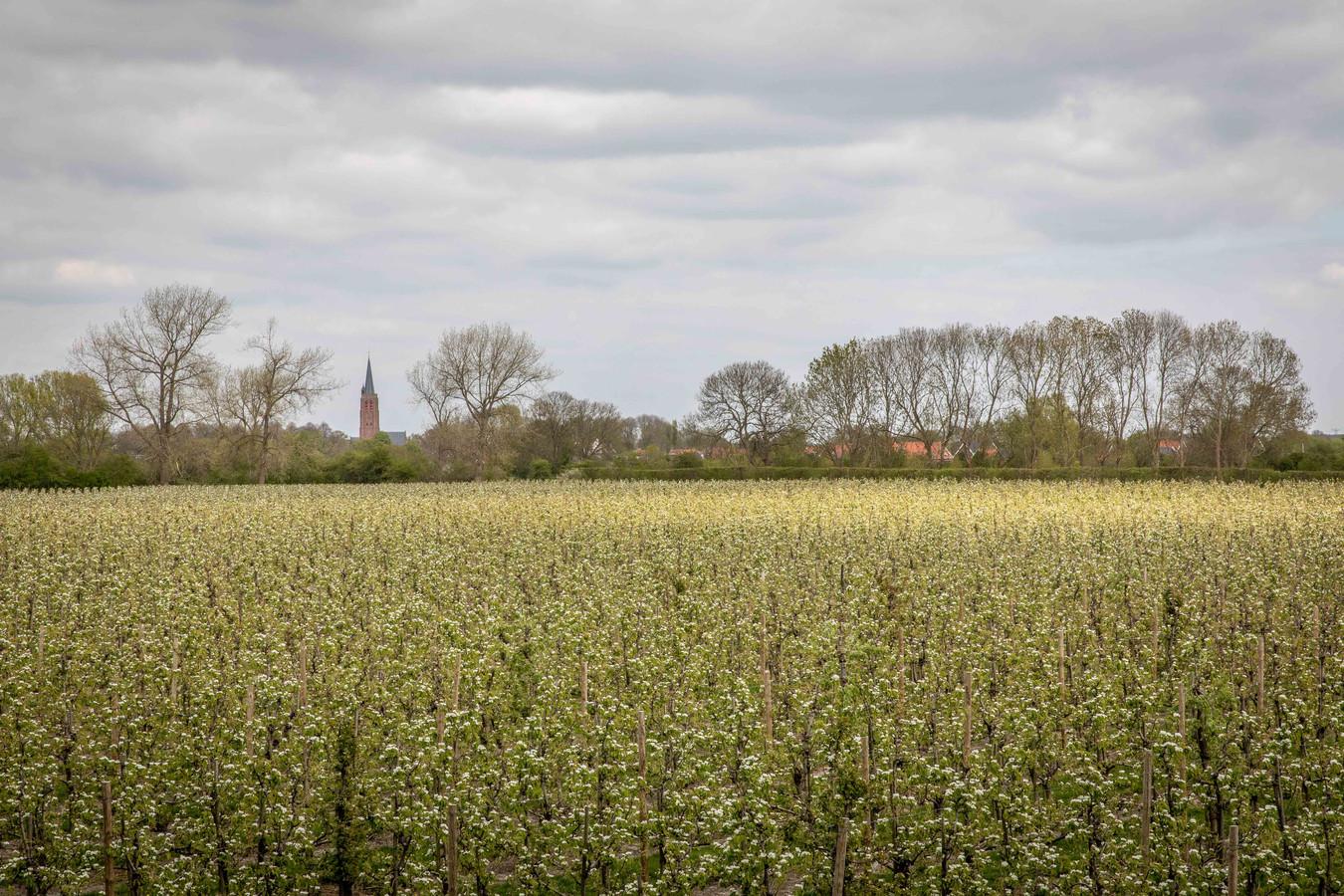 De fruitteelt is belangrijk in de Zak van Zuid-Beveland. Op de achtergrond Nisse.