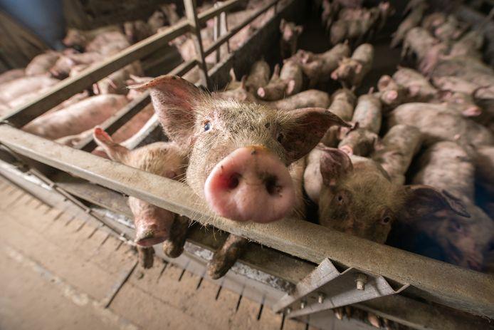 Biggen op een varkensfokkerij (deze foto is niet gemaakt bij vof Burggraaf).