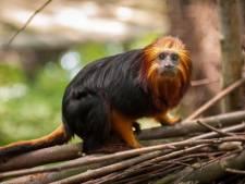 """Zoo in de bres voor goudkopleeuwapen in Braziliaans regenwoud: """"Om de aapjes te helpen moeten we eigenlijk de chocolade-industrie redden"""""""