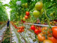 Tomatentelers verdrijven hardnekkig virus uit hun kas: 'Maar we zijn er voorlopig niet van verlost'