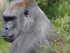 Stokoude gorilla (48) in Blijdorp overleden, ondanks bescherming van Bokito