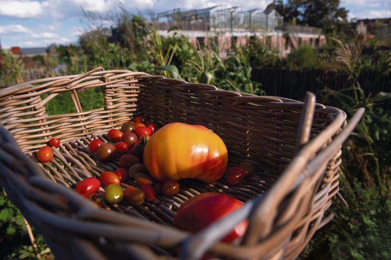 Op de webwinkel terroir.be vind je artisanale streekproducten, zoals deze tomaten van de dakmoestuin PAKT in Antwerpen.  Beeld Tony Le Duc