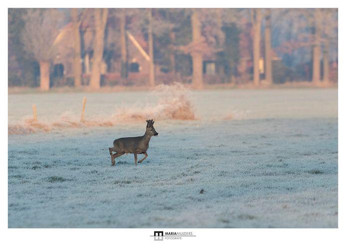 Reeën aan de wandel in het bevroren landschap gistermorgen in Ruurlo
