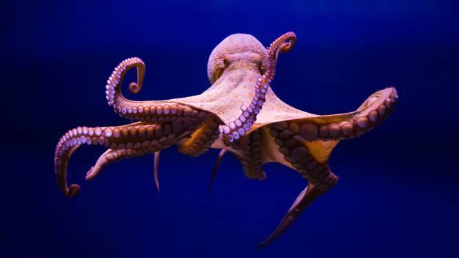 Australische octopus slaat geoloog in elkaar