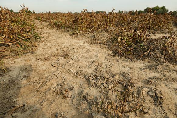 Een kurk- droog, troosteloos aardappelveld in Poperinge. Het bintje, dé frietaardappel, kreeg het zwaar te verduren. Het ras heeft liever een kwakkelzomer.
