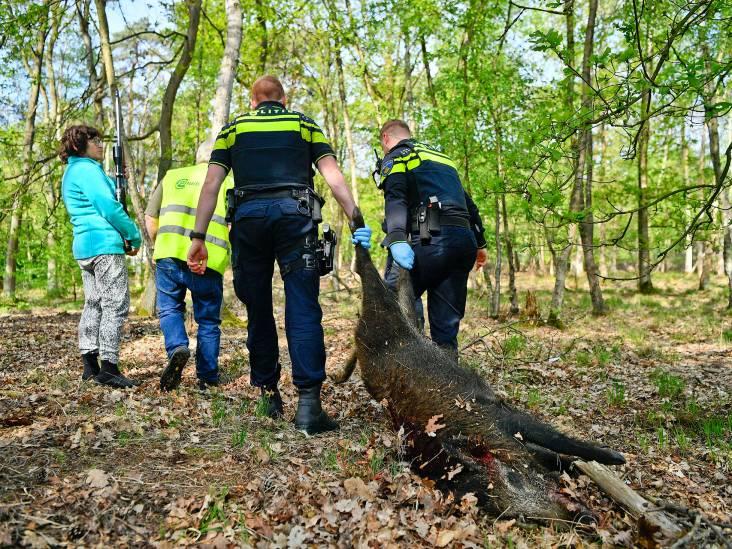 Gewond everzwijn uit lijden verlost door jager in Valkenswaard